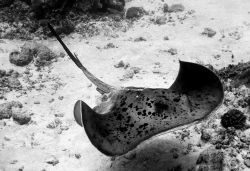 Stingray, Maldives, 2006 by Chris Wildblood 